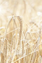 Ripe wheat sowing in the summer Royalty Free Stock Photos