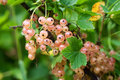Ripe white currant Royalty Free Stock Photo