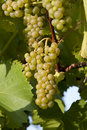 Ripe white grape ready for harvest. Royalty Free Stock Photo