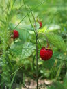Ripe wild strawberry close up on a background of foliage Royalty Free Stock Image