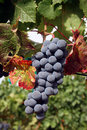 Ripe Wine Grapes Stock Photo