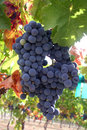 Ripe Wine Grapes Stock Photography