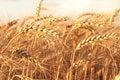 Ripe yellow ears of wheat. Royalty Free Stock Photo