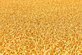Ripe yellow ears of wheat golden Royalty Free Stock Image