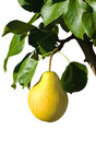 Ripe yellow pear on a branch
