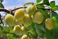 Ripe yellow plum on the branch Royalty Free Stock Photo
