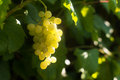 Ripe yellow wine grape in the vineyard italian moscato lighted by sun Stock Photos