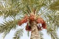 Ripen dates clusters are fruits that have been a staple food of the middle east for thousands of years Royalty Free Stock Images