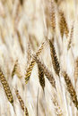 Ripened cereals the ears of photographed by a close up Stock Photography