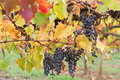 Ripened mature wine grapes in Coonawarra winery, during Autumn i Royalty Free Stock Photo