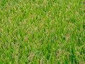 Ripe Japanese rice field just before harvest 1 Royalty Free Stock Photo