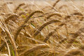 Ripened wheat yellow color photographed close up Stock Photo