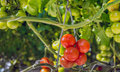 Ripening and already harvest ripe tomatoes hydroponically cultiv Royalty Free Stock Photo