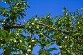Ripening apples on tree in garden Royalty Free Stock Photo