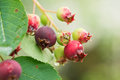 Ripening berries on a branch after a rain close up Stock Photo