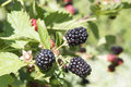 Ripening blackberries Royalty Free Stock Photo