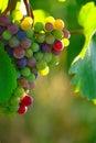Ripening Blue Wine Grapes