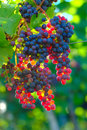 Ripening Blue Wine Grapes Royalty Free Stock Photo