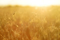 Ripening ears of yellow wheat field on the sunset. Royalty Free Stock Photo