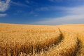 Ripening Golden Ears of Wheat in the Field Under Blue Sky Royalty Free Stock Photo