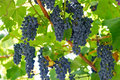 Ripening grape clusters on the vine red Royalty Free Stock Photos