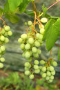 Ripening grape green on the vine in summer Royalty Free Stock Image