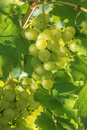 Ripening grapes green berries of on the sun Stock Photos