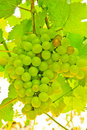 Ripening green grape clusters on the vine Royalty Free Stock Photos