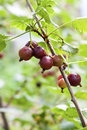 Ripening Jostaberry on a branch Royalty Free Stock Photo