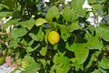 A Lemon Citrus Tree - Nearly Ripe Royalty Free Stock Photo