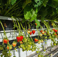 Ripening strawberries of hydroponically cultivated plants from c Royalty Free Stock Photo