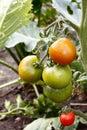 Zrenie paradajky