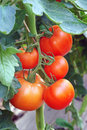 Ripening tomatoes Stock Photography