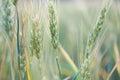 Ripening wheat close up Royalty Free Stock Photo