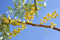 Ripening wild olive fruits Royalty Free Stock Photo