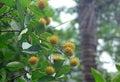 Ripening Yellow Rambutan Fruits Royalty Free Stock Photo
