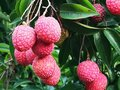 Ripped emperor type lychees Royalty Free Stock Photo
