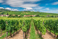 Riquewihr wineyard in Alsace in France Royalty Free Stock Photo