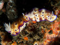 Risbecia tryoni nudibranch mating pair of on the volcanic black sand slope in front of scuba seraya tulamben bali Stock Photos
