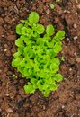 stock image of  Young light green leaves of lettuce in the garden.
