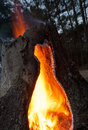 Rising flames in the middle of a tree stump and above Stock Photo