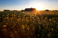 Rising sun over rapeseed field star flowers groningen netherlands Royalty Free Stock Photography