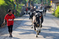 Ritual to cleanse the village residents bring his cows in annual in boyolali central java indonesia is an area of Stock Images