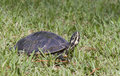 River Cooter Turtle Stock Images