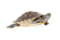 River Cooter Turtle Walking Royalty Free Stock Photo