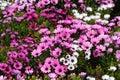River daisy Dimorphotheca ecklonis or Osteospermum