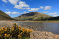 River etive common gorse along the in glen scotland Royalty Free Stock Photo