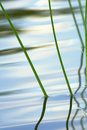 River grass Royalty Free Stock Photography
