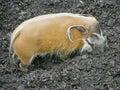River hog 3 Stock Photos