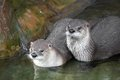 River otter Royalty Free Stock Photo